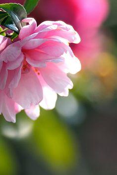 Camellia | by myu-myu on Flickr