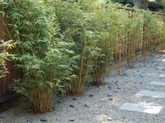 Alphonse Karr Bamboo (Bambusa multiplex 'Alphonse Karr') A clumping variety, creates privacy in the garden, a living and textural alternative to a fence and will pretty quickly fill any planter. Your backyard can become a personal and private sanctuary.