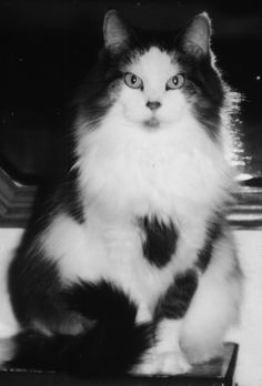 black and white photo of long-haired cat. Sophie in all her fuzzy glory.