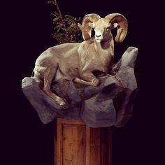 Unique pose of a Bighorn Sheep by Animal Artistry Taxidermy in Reno, Nevada   Full size trophy mount
