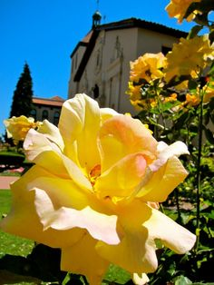 Amazing Roses outside the Santa Clara Mission