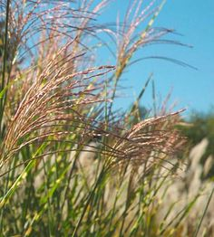 Best Ornamental Grasses for Midwest Gardens | Midwest Living. Maidengrass hardy in zones 4-9.