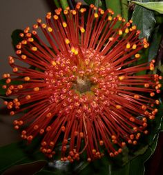 http://www.michelesfloralevents.com/images/Protea,%20Pincushion%20Orange.jpg