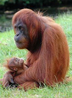 Orangutan Sanctuary, Malaysia                                                                                                                                                                                 More