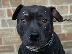 "TO BE DESTROYED 11/07/13 Brklyn Center-P~DAVID~ID #A0983339 Male black pit bull mix.2 YRS old. STRAY 10/27/13. David is very sweet dog that was brought in as a stray. He is very quiet & a bit shy, but warms up quickly. Walks well on leash, seems house trained & ""sits."" He takes treats very gently and seems to like other dogs. David loves to be pet- he follows closely outside. David has a very calm, gentle and loving presence about him - please come meet this special boy at the Brooklyn ACC!"