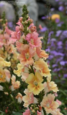 Snapdragon 'Chantilly Peach' (Antirrhinum majus)..love snapdragon...these look like a snapdragon fell in love with a hollyhock