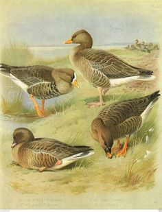 Grey Lag, White-fronted & Pink-footed Goose - Large Bird Print by A Thorburn | eBay