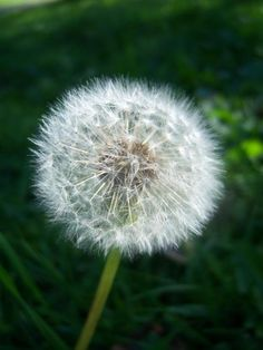 """Blowing a dandelion and seeing all the """"fairies"""" & trying to see who could blow them all off in one breath!!"""