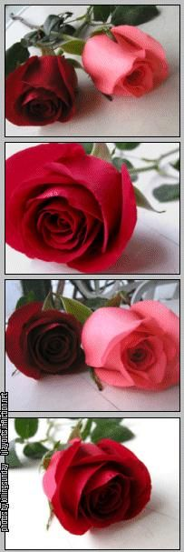 Red Roses *original source not found