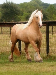 This rare Palomino Gypsy Vanner mare is named Rianna which means princess in Romany, the native language of gypsies.