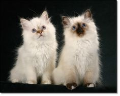 Two birman kittens Birman Kittens, Himalayan Cat, Cat Cafe, Kittens And Puppies, Farm Animals, Fur Babies, Kitty, Pets, Starter Kit