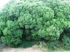 Euclea Racemosa Sea Guarrie Seeghwarrie S A no 599 Cape Town Chapman House, Sardinia, Hedges, Trees To Plant, Shrubs, Wild Flowers, Beautiful Flowers, Flora, Cape Town