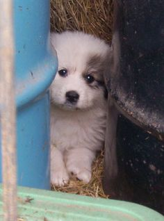 Great Pyrenees Puppies- livestock guardian dogs