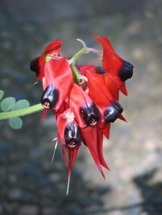 Sturt Desert Pea, Australian National Botanic Gardens