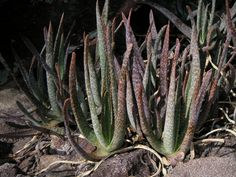 Aloe guillaumetii, Madagascar