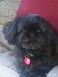 "Awesome ""shih tzu puppies"" information is offered on our internet site. - Awesome ""shih tzu puppies"" information is offered on our internet site. Shih Tzus, Shih Tzu Hund, Shih Tzu Puppy, Shitzu Puppies, Cute Puppies, Cute Dogs, Dogs And Puppies, Doggies, Black Shih Tzu"