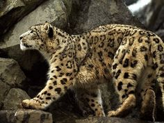 Snow leopard (Panthera uncia or Uncia uncia).