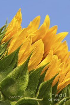 Sunflower And Sky by Regina Geoghan
