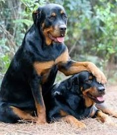 They love to play with each other.. And the best buddies stay together forever in life ... by rottweilerlover