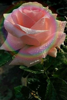 Rainbow rose By Baci Nelly