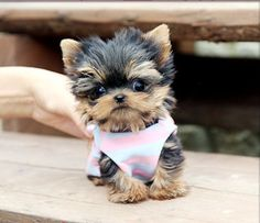 cute teacup puppies - Google Search