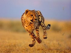 Cheetahs reach speeds up to 70 miles per hour.... Can you believe it!!!!!