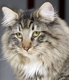 Norwegian Forest Cat. A handsome fella!