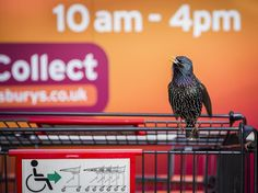 A starling finds its spot on a supermarket cart in Cornwall, England. (Geoff Trevarthen/British Wildlife Photography Awards 2016)