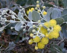 The Acacia podalyriifolia Queensland silver wattle is An attractive shrub with rounded silvery-white leaves producing clusters of large golden blooms. Australian Wildflowers, Australian Native Flowers, Australian Plants, Acacia, Echeveria, Exotic Flowers, Beautiful Flowers, Tropical Flowers, Yellow Flowers