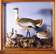 #TaxidermyBirds at Audley End; inspiration for #TheGoldenKey