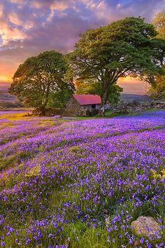 Bluebell season, England