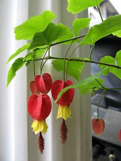 Plants We Love: Trailing Abutilon - Plants On Wall - Ideas of Plants On Walls - Trailing Abutilon. Brazilian tropical pipes up in early summer. Plant on wall or fence Container Gardening Vegetables, Succulents In Containers, Container Flowers, Container Plants, Planting Succulents, Planting Flowers, Vegetable Gardening, Shade Garden, Garden Plants