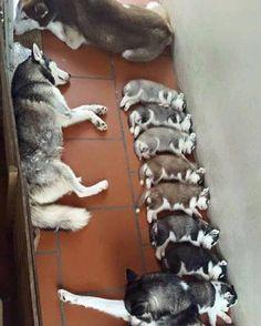 Hallway full of huskies!