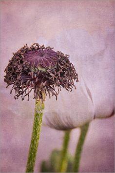 Mohnphasen: Poster & Kunstdruck von Iris Lehnhardt