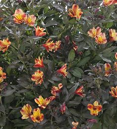 Indian Summer is a mid-height Alstroemeria. It has fiery orange-red flowers which contrast fabulously against its chocolate brown foliage. Sunny or part shade