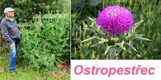 ostropestrec-ucinky-na-zdravi-co-leci-pouziti-uzivani Korn, Herbs, Garden, Plants, Garten, Lawn And Garden, Herb, Flora, Gardening