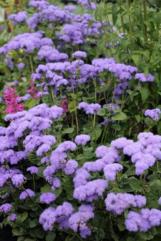 Ageratum houstonianum- Floss flower -Frost tender annual of the aster family. Characterized by flowerheads in which the ray flowers are tubular, creating a fine feathery effect. Blooms June to frost -Full sun to part shade. Requires moist soil that never becomes dry.