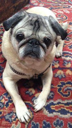 I love seniors People's Friend, Friends, Animals And Pets, Cute Animals, Old Pug, Pug Rescue, Pug Mug, Puppy Mills, Cute Pugs