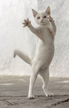 Dance with me!  #white  #fellines #cats #kittens #pets #animals