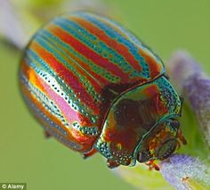Rosemary Beetle: Pretty, and invasive.