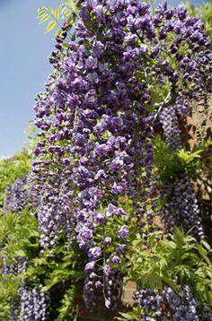Japanese wisteria 'Yae-kokuryu'