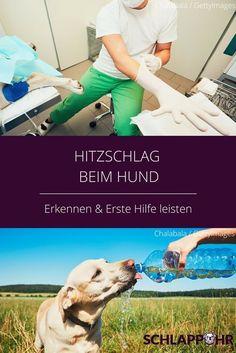 Ein Hitzschlag beim Hund ist ebenso lebensbedrohlich wie bei einem Menschen. Eigentlich sollte man meinen, dass Hundehalter mittlerweile ausreichend über die Gefahren für Hunde in überhitzten Autos aufgeklärt sind. Aber leider sterben jedes Jahr aufs Neue Hunde, weil sie von ihren Besitzern bei Hitze im Auto gelassen wurden. Mehr auf dem Blog #hunde #hitzschlag #hitze #sommer #hundeimsommer #hundesommer #hundimauto Labrador Retriever, Dog Love, Best Friends, Pets, Camilla, Blog, Ice Cream For Dogs, Dog T Shirts, Animal Clinic