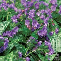Pulmonaria 'Purple Haze' : good tolerance to powdery mildew. (rest same as most pulmonaria) Hummingbird Plants, Ground Cover, Plants, Planting Flowers, Flowers, Perennials, Plant Pictures, Shade Plants, Purple Haze