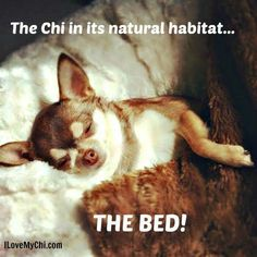 Image result for funny #chihuahua love