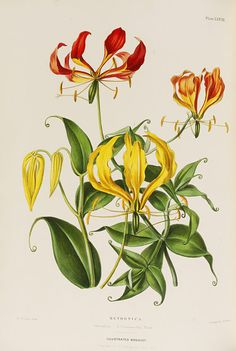 Augusta Withers 'The illustrated bouquet, consisting of figures with descriptions of new flowers l Victoria and Albert Museum Vintage Botanical Prints, Botanical Drawings, Botanical Illustration, Botanical Flowers, Botanical Art, Gloriosa Lily, Lilies Drawing, Vegetable Illustration, Lily Painting