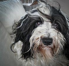 Tibetan Terrier...