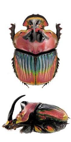Sulcophanaeus imperator longicollis