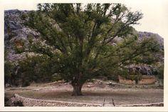 El Plantón del Covacho (Nerpio), a orillas del río Taibilla y a unos 2 km del bello municipio de Nerpio, El Plantón del Covacho, árbol singular y majestuoso era un nogal de más de 500 años que ha supuesto una de las joyas del municipio de Nerpio.