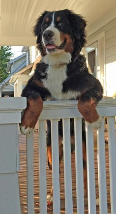 Ronan the Bernese Mountain Dog, can I come????