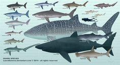 Shark Species by LauraRamirez